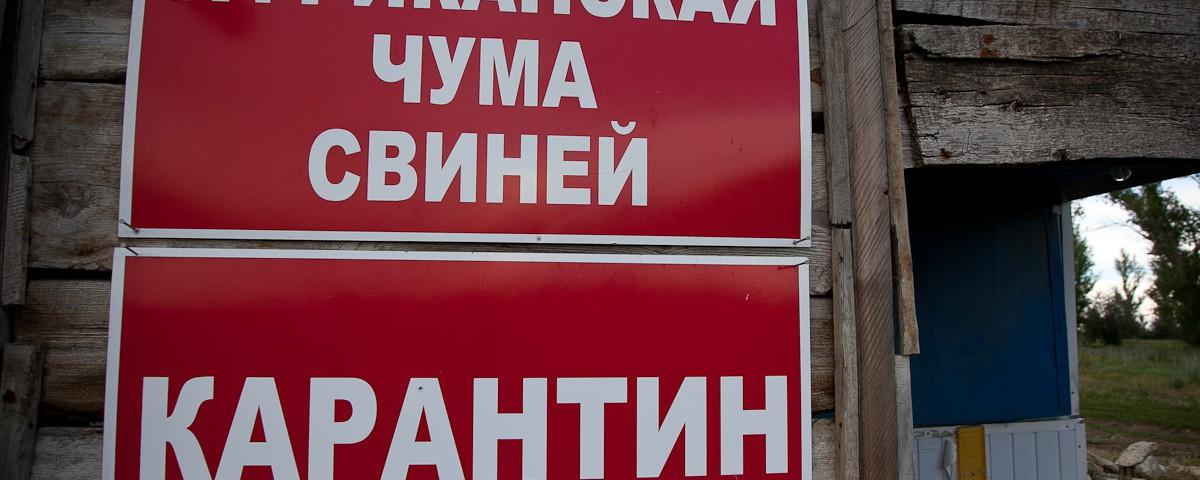В Крымской республике сняли карантин по африканской чуме свиней