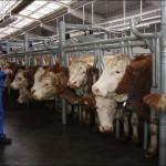 В этом году Владимирская область получит новые животноводческие комплексы