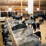 Ферма по разведению овец открыта в Ленинградской области