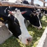 Дальневосточники инвестируют 9 миллиардов рублей на развитие животноводства