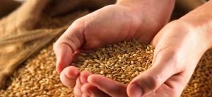 Зерно в руках человека