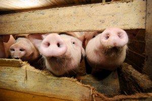 Дотации для фермеров-свиноводов