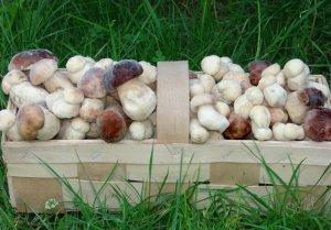 Белые грибы выращенные в теплице