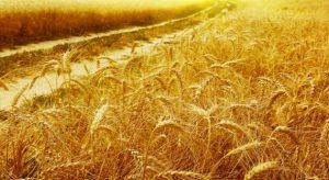 Ни одна другая сельскохозяйственная культура не распространена в мире так же широко, как пшеница