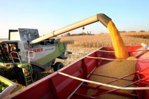 Комбайн проводит уборку зерна