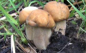 Финансовая сторона выращивания белых грибов