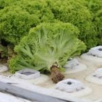 Технология производства продукции растениеводства