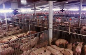 Помещение для свиноводства