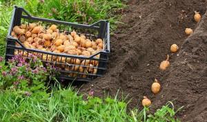 Традиционный способ посадки картофеля