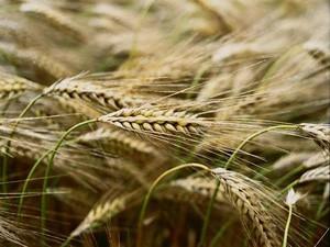 Урожай перед сбором