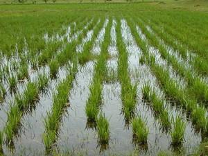 Новый урожай риса