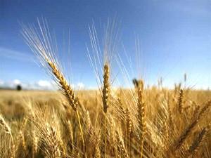 Созревший колос пшеницы