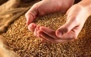 Мешки с зерном пшеницы