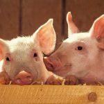 Свиноводство: основные правила