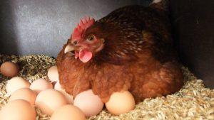 Курица сидит на яйцах в гнезде