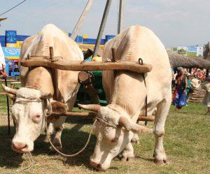 Коровы как живая тяговая сила