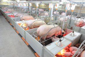 Современное фермерство по разведению свиней