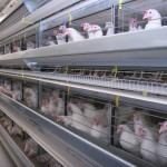 На Ставрополье в этом году появится новая птицефабрика