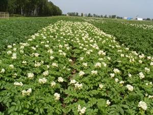Цветки картошки