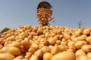 Увеличение валового сбора картофеля