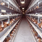 Брянский птицеводческий комплекс «Победа-Агро» оправдал свое название,  добившись международного признания
