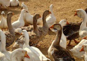 Домашнее разведение гусей