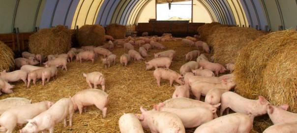 Белгородская компания пополняет поголовье свиней племенными производителями