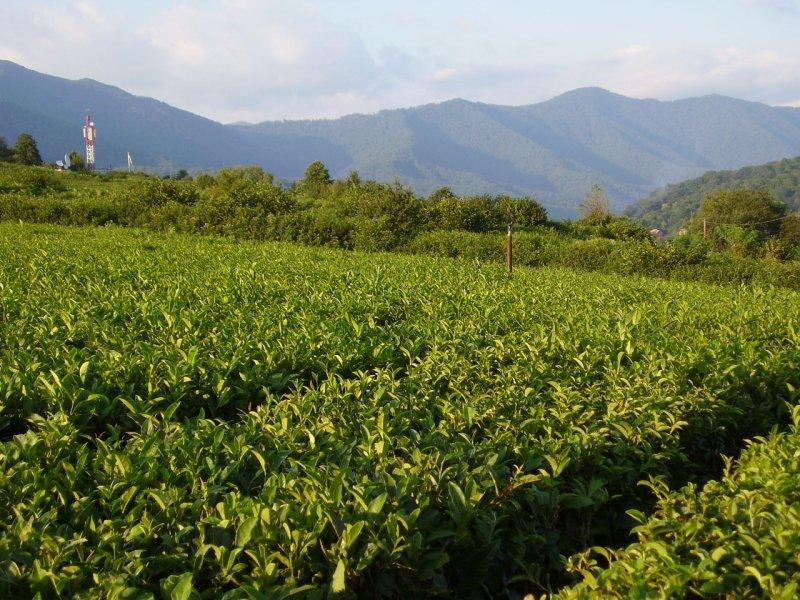 В Краснодарском крае необрабатываемые чайные плантации будут изыматься