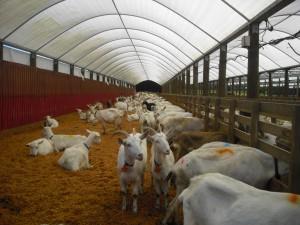 Хозяйственная постройка для содержание молочных коз