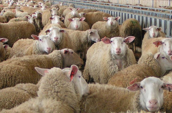 В Волгоградской области возродили свою, традиционную породу овец