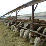 Амурские коровки прибыли на остров Сахалин