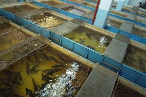 Выращивание рыбы в искусственных водоемах