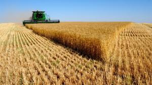 Комбайн молотит в поле пшеницу