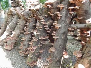 Домашнее выращивание грибов на пнях