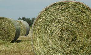 Большие тюки сена для корма животных в промышленном животноводстве