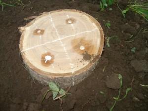 Грибные споры в деревянной заготовке