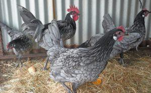 Андалузские голубые куры
