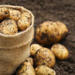 Обработка почвы перед посадкой картофеля