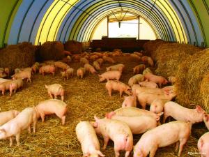 Территория содержания свиней