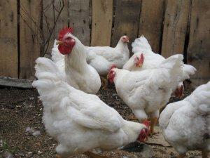Броылер родственницы курицы обыкновенноы