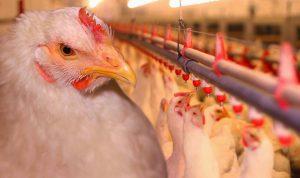 Мясное птицеводство: выращивание бройлеров