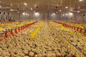 Цыплята на предприятии по разведению кур