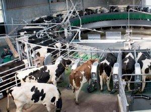 Автоматизированное доение коров