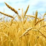Обзор основных зерновых и непродовольственных культур в современном растениеводстве
