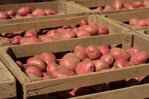 Естественный способ хранения картофеля