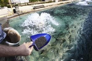 Кормления рыбы