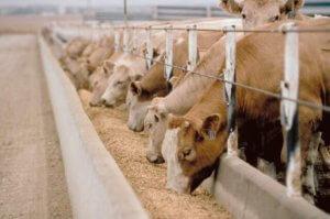 Кормления коров