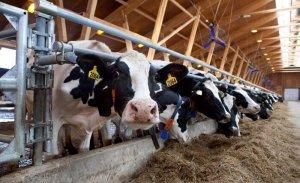 Кормление коров на ферме