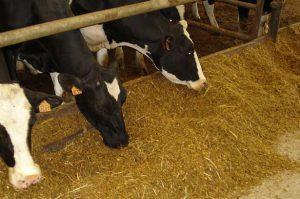 Кормление коров комбикормами в домашних условиях