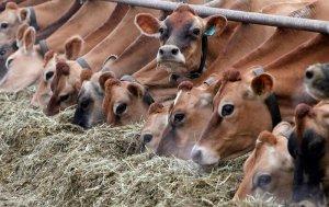 Промышленное разведение крупного рогатого скота